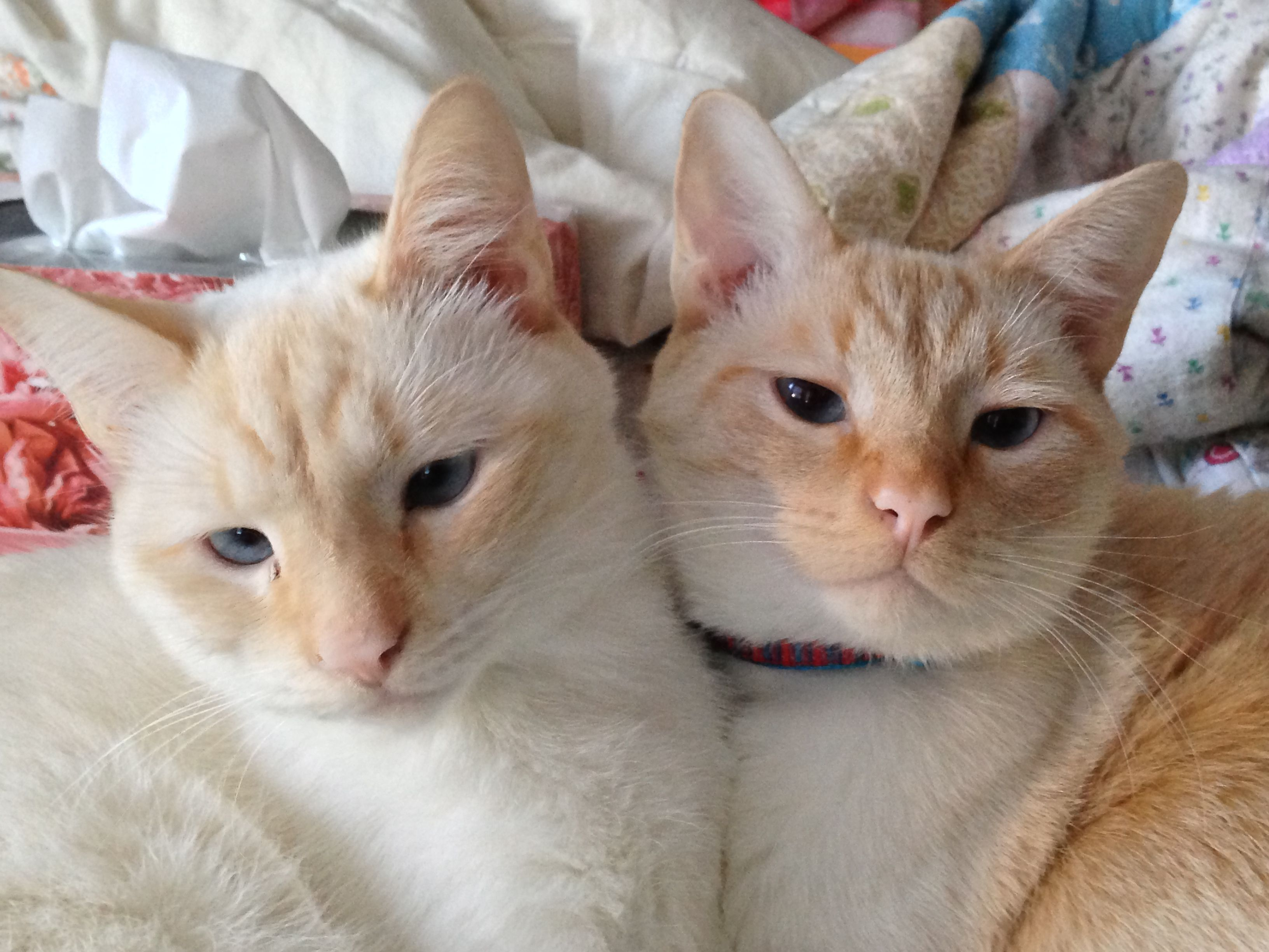 Flame Point Brothers Cuddling Cats Siamese Cats Cat Love