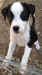 Adopt Princess Lilly On Collie Puppies For Sale Puppy Mix Dogs