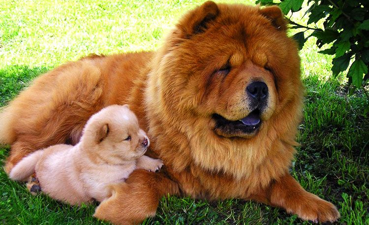 Chow Chow Dogs And Puppies Chow Dog Breed Bear Dog Breed Chow