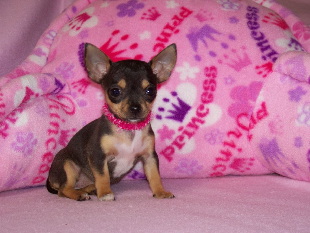 Toy Puppies For You Chihuahua Breeder In Texas Chihuahua