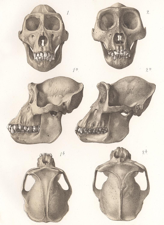 Gorilla and Chimpanzee Skulls Print | Animals | Pinterest ...