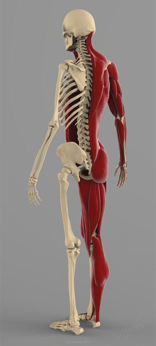 precise human skeleton muscles 3d model | 조각 | Pinterest ...
