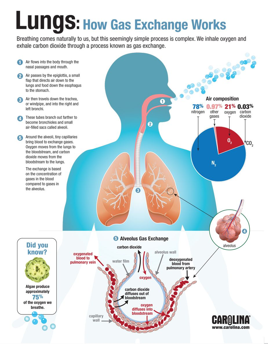 hight resolution of infographic lungs how gas exchange works