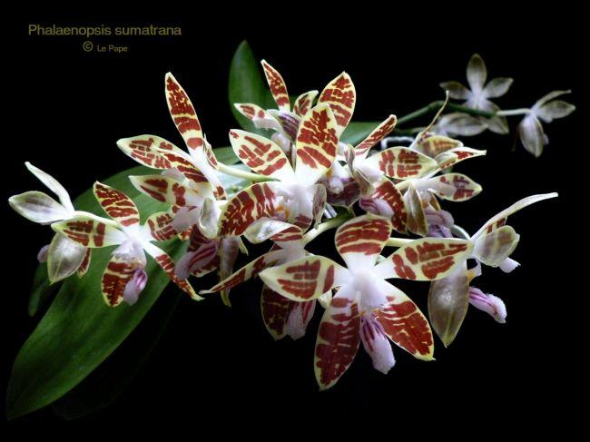 22 Phalaenopsis Sumatrana Anggrek Bulan Sumatra Anggrek Bunga
