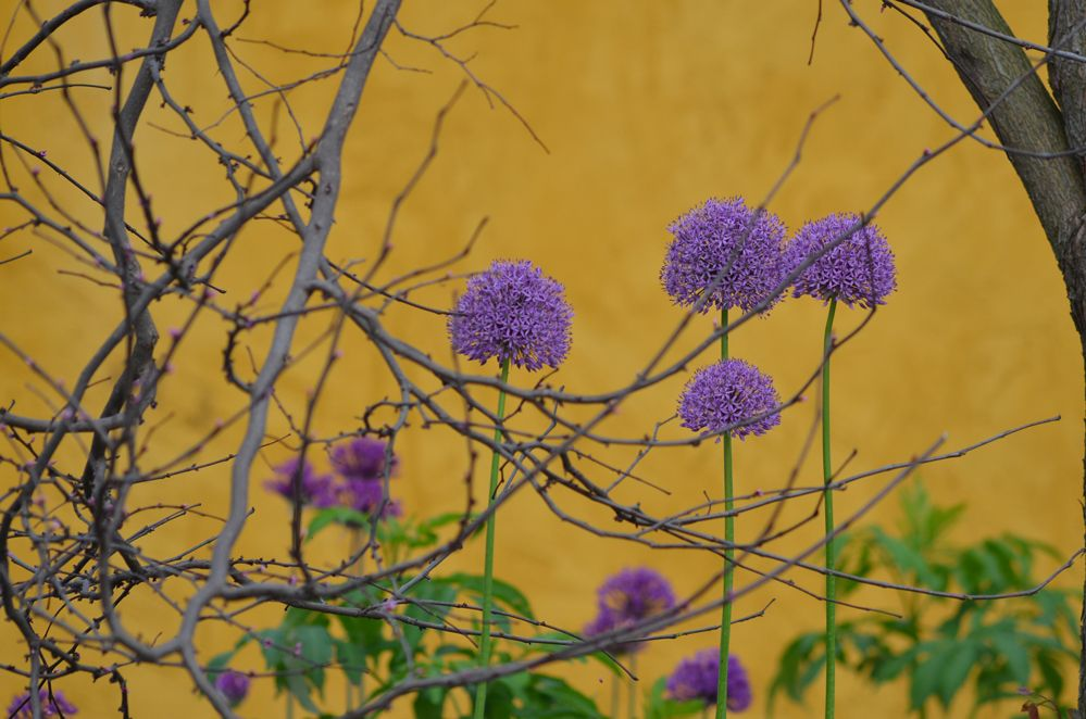 5/20/13 -- Purple allium and limbs against the golden wall in the Arboretum at Penn State look almost like a painting, but they're real.