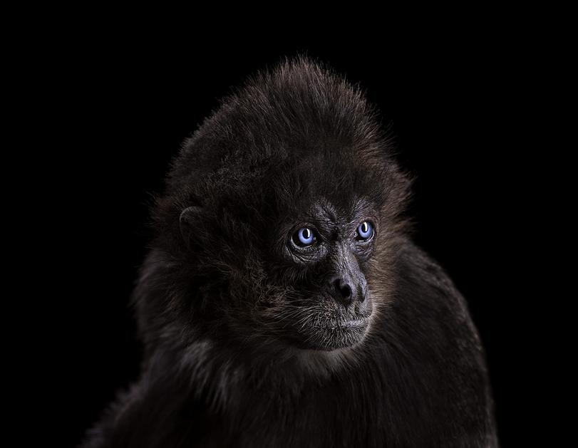 Incredible Studio Portraits Of Wild Animals By Brad Wilson: Spider Monkey, Pet Portraits