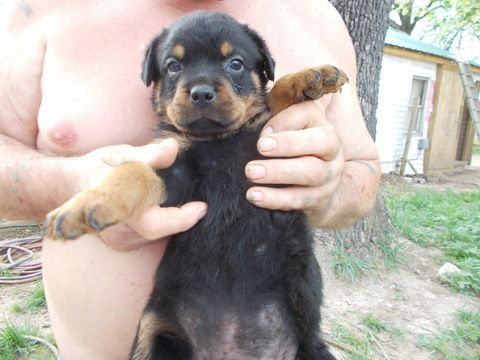 Litter Of 8 Rottweiler Puppies For Sale In Mexico Mo Adn 28722