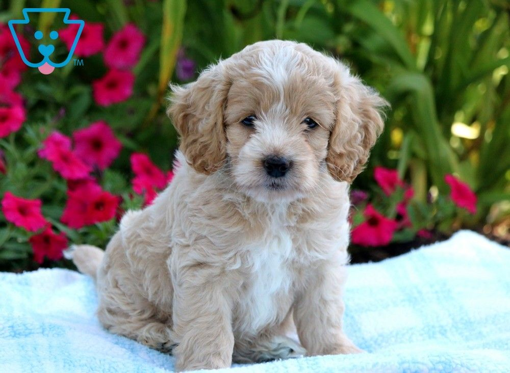 Frisky Cockapoo Puppy For Sale Keystone Puppies In 2020 Cockapoo Puppies For Sale Cockapoo Puppies Puppies