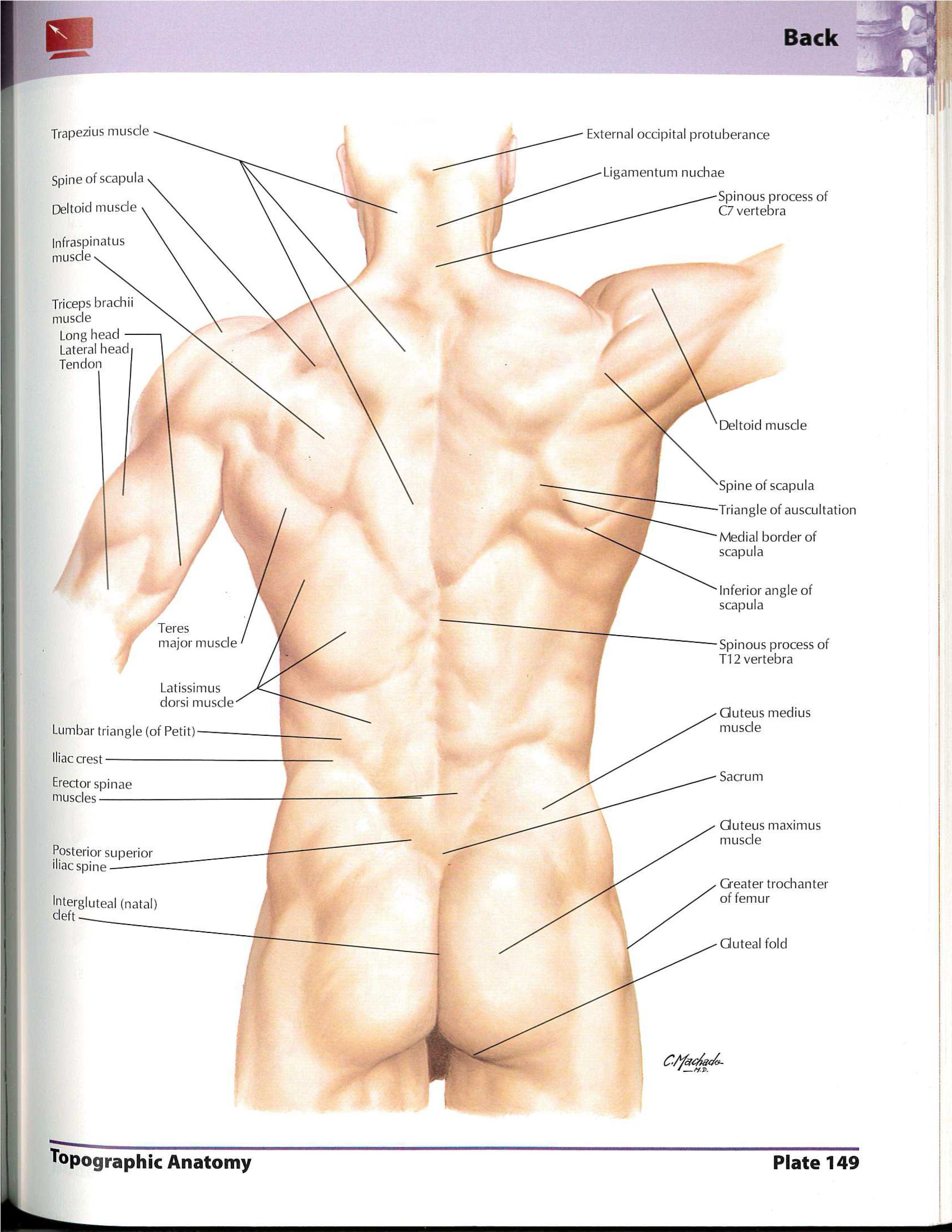 Pin by Kristi Kirisberg on Anatomy for artists Back and Chest