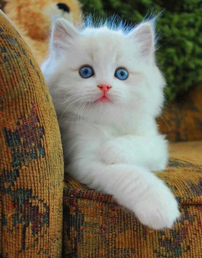 Beautiful White Kitten With Blue Eyes, Perfect Pink Nose ...