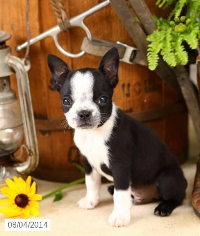 bull terrier puppies for sale in pa boston terrier puppy for sale in pennsylvania boston 6834