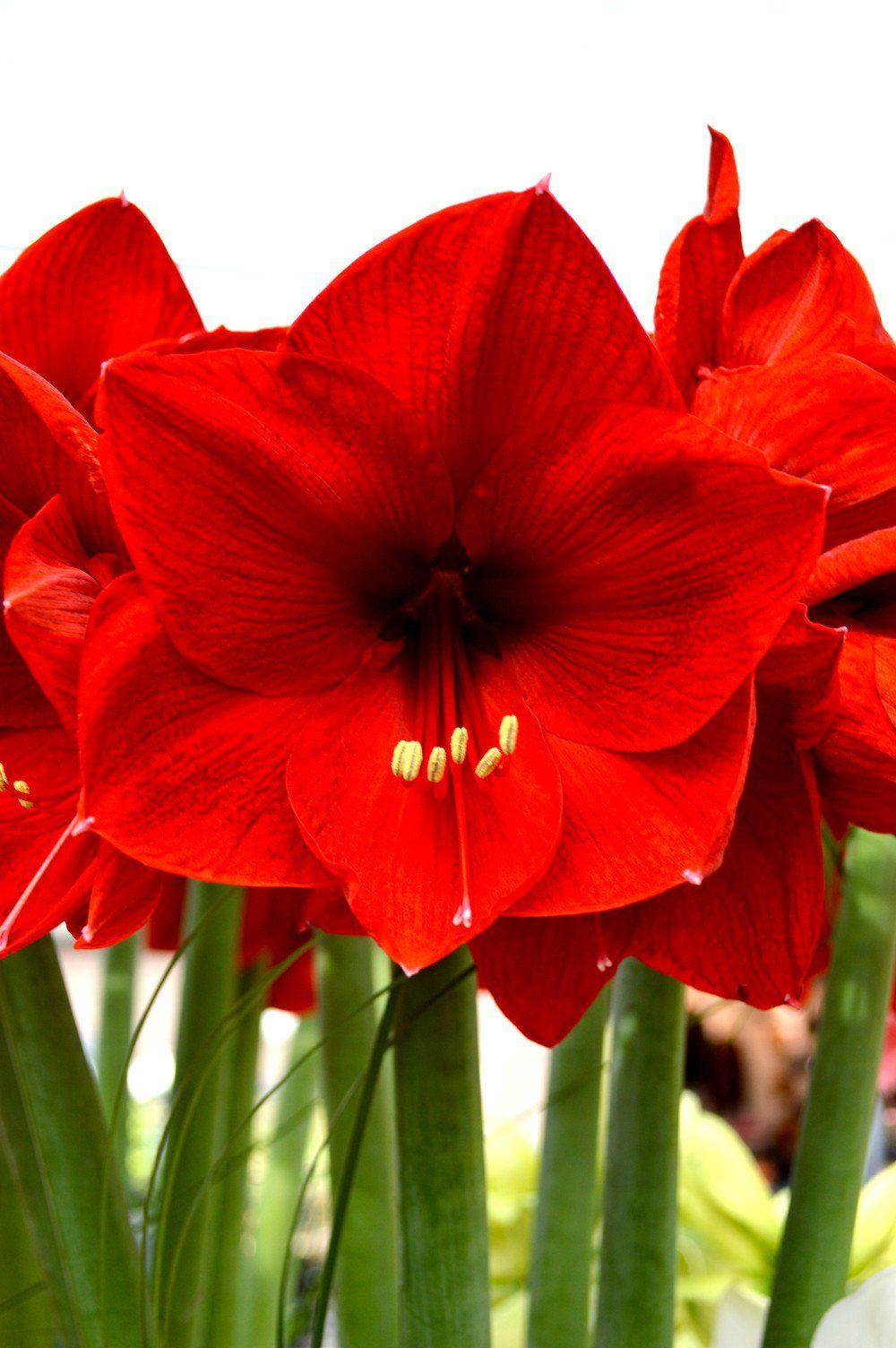 Jumbo Amaryllis Red Lion Amaryllis Flowers Photography Next Flowers