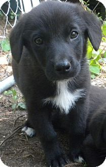 Bozrah Ct Border Collie Labrador Retriever Mix Meet Blossom A Puppy For Adoption Http Www Adoptapet Com Pet 10874373 Boz Puppy Adoption Pets Dog Lovers