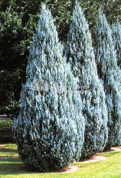 Rocky Mountain Juniper Juniperus Scopulorum Evergreen Landscape Fence Landscaping Privacy Landscaping