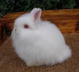 Jersey Wooly Rabbit Jersey Wooly And Standard Chinchilla Rabbits