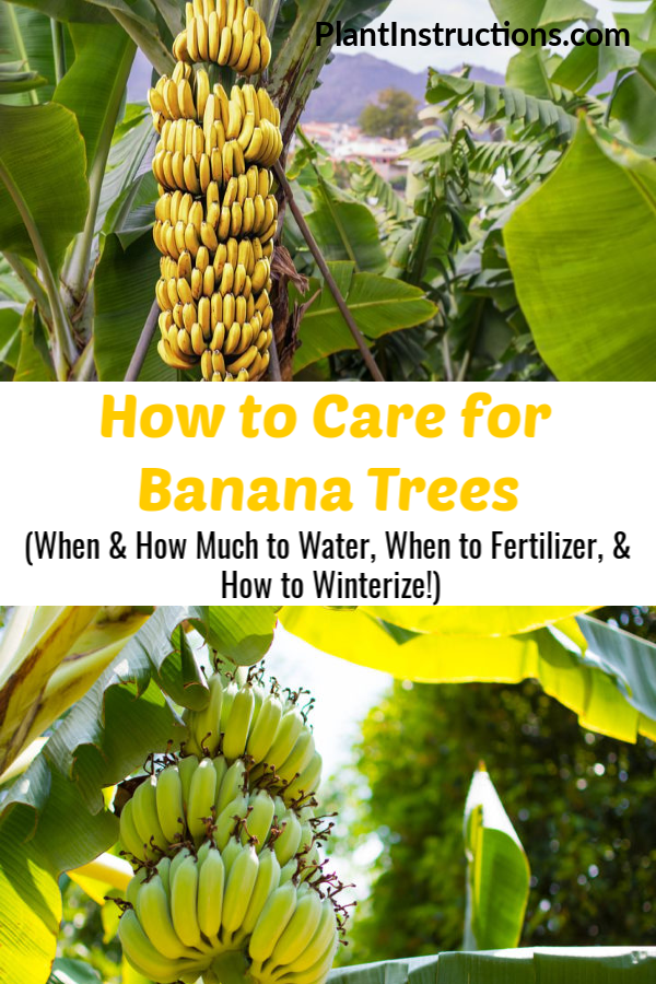 Learn How To Care For Banana Trees With Our Easy To Follow Gardening Guide See How To Fertilize Whe In 2020 Banana Plant Care Grow Banana Tree Banana Trees Landscape