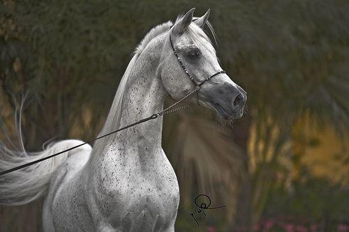 Flickr Beautiful Arabian Horses Horses Chemistry Art