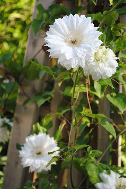 clematis duchess of edinburgh flower names gardens. Black Bedroom Furniture Sets. Home Design Ideas