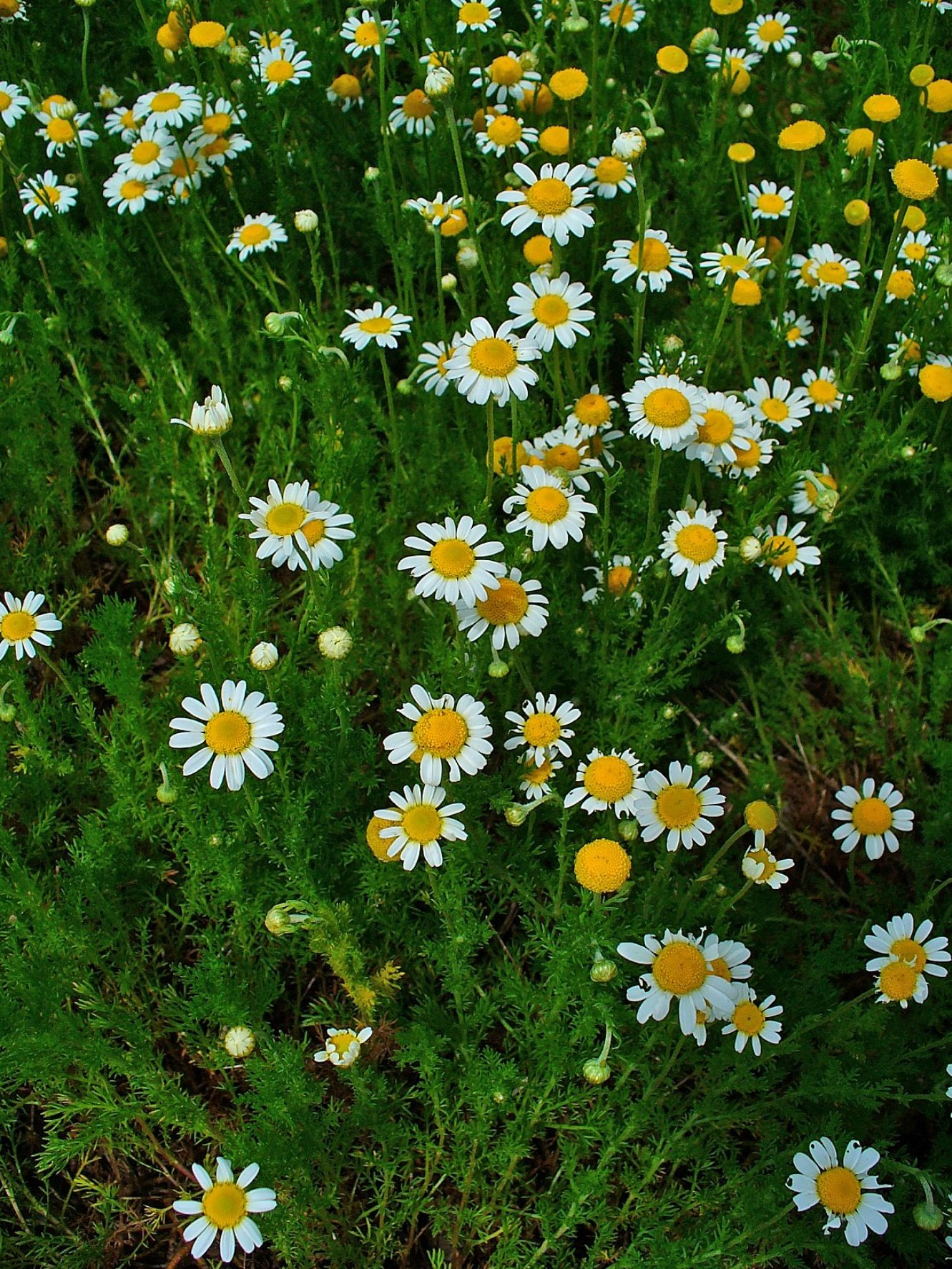 Chamomile also known as Manzanilla: a flowering plant, used as ...