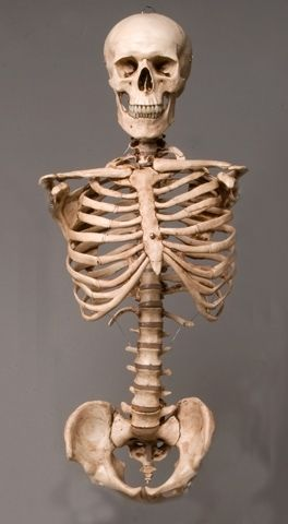 $115 - Skeleton Torso with Skull, life-size, 2nd class, AGED version - Haunted Props