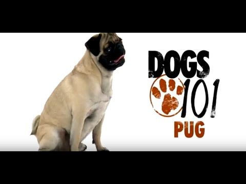 Pug Dog Behavior Problems That Can Be Corrected Pug Pinterest Dog