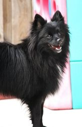 American Eskimo Dog Black And White | www.pixshark.com ...