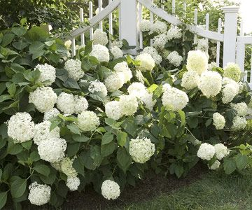 Smooth hydrangea (Hydrangea arborescens), also sometimes called hills of snow or snowball hydrangea, is an especially easy-growing type that's native to areas of North America. It has clusters of pure white flowers from midsummer into autumn; the older flowers often fade to green before they turn brown and dry.