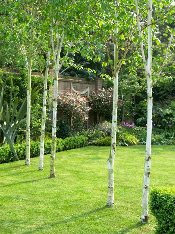Striking White Himalayan Birch Birch trees landscaping