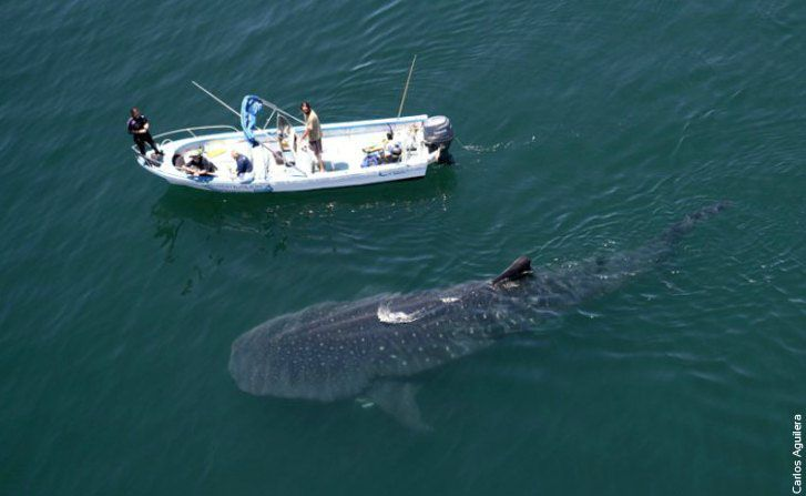 How big is a whale shark? Bigger than a boat and 30,000