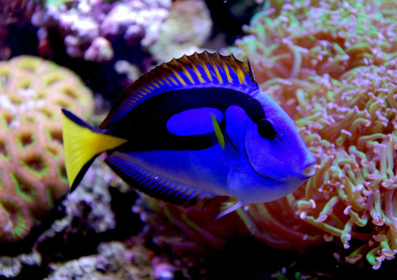 Yellow belly regal blue tang dory things i love for Picture of dory fish