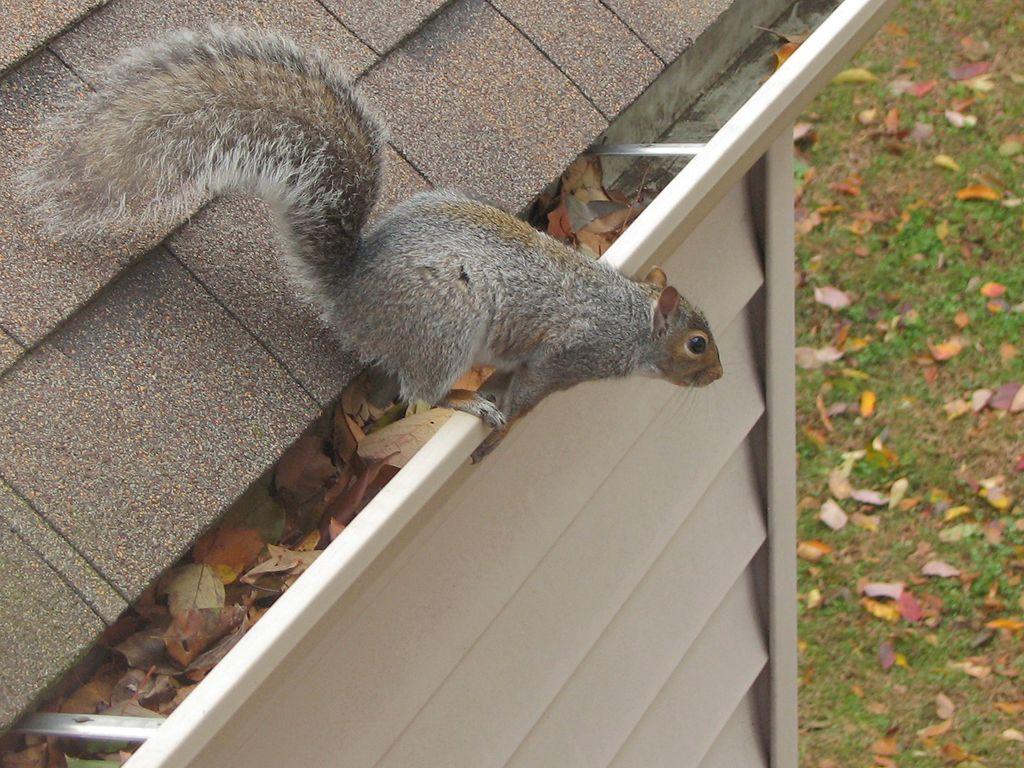 b32c29b507aa4f067e35d6506d4b23c5 - How To Get Rid Of Squirrels In My Ceiling