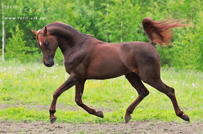 лошадь на весь рост картинки это турецкая