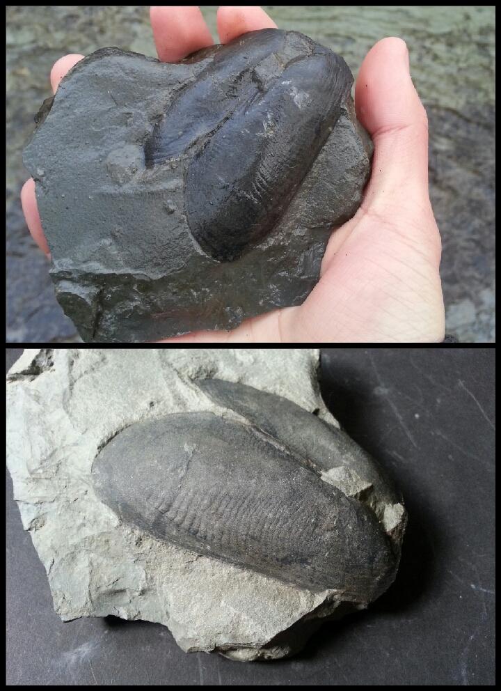 Moon Snail Fossils, Prehistoric, Synonym