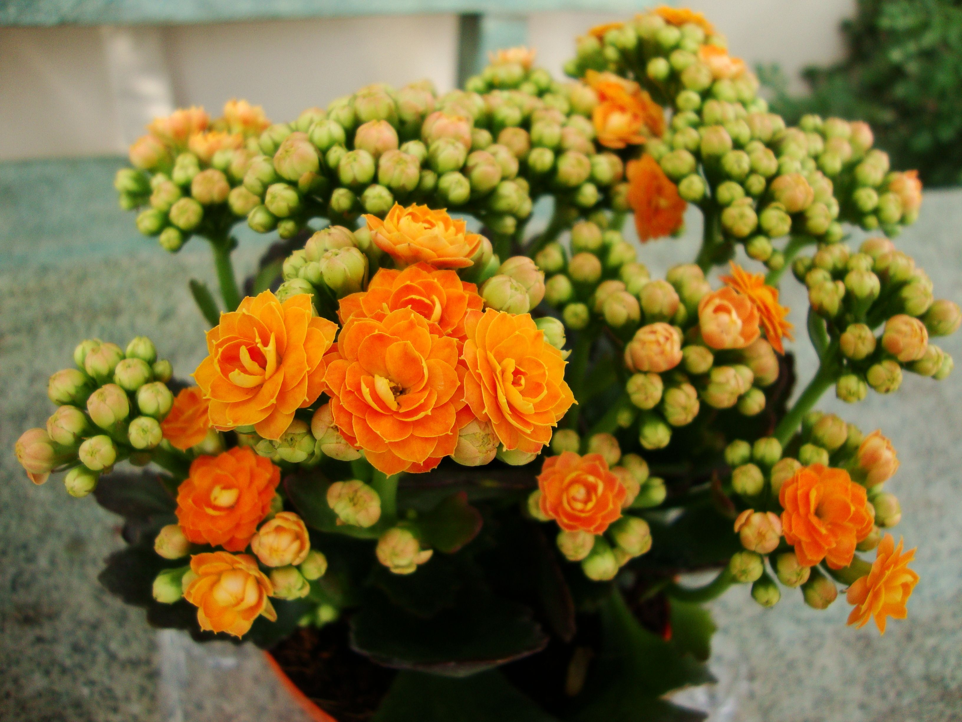 17 Best images about Kalanchoe on Pinterest | Tropical, Yellow and ...