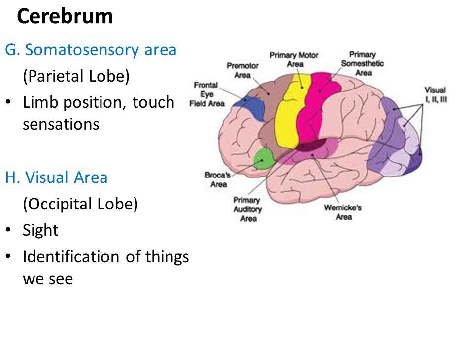 The Brain Ppt Video Online Download Brain Models
