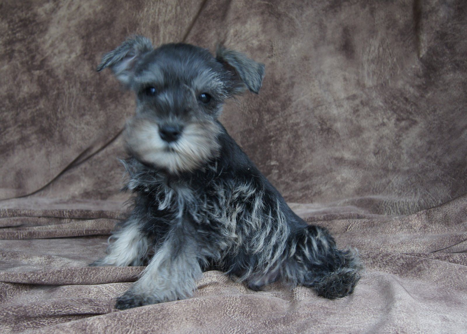 Salt and Pepper Miniature Schnauzer Miniature Schnauzer