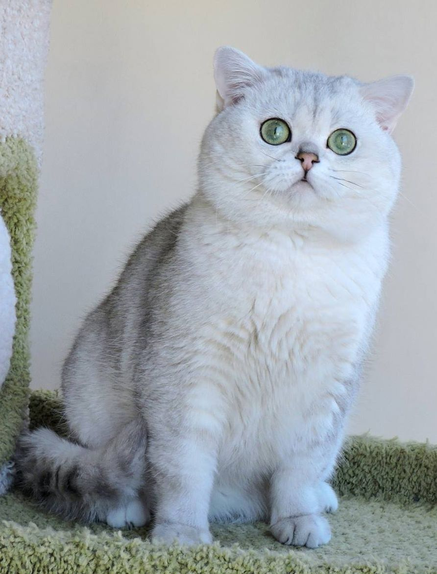 british chinchilla cat Красивые кошки, Кошки и Дикие
