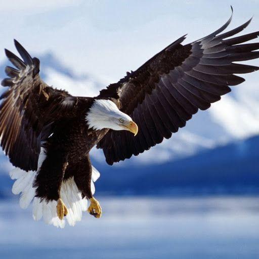 Pin By Julia Info On Oiseaux Bald Eagle Eagle Wallpaper Types Of Eagles