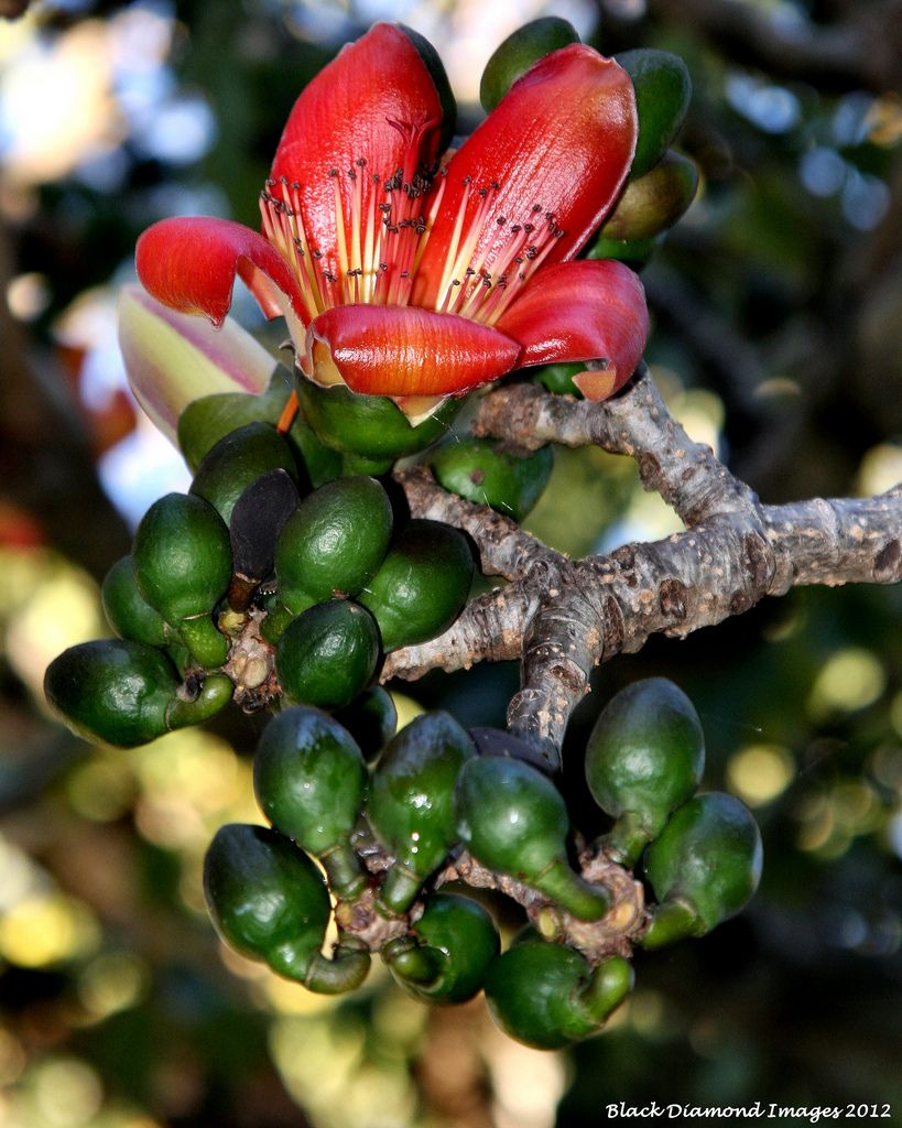 Bombax ceiba var  leiocarpum - Red Kapok Tree