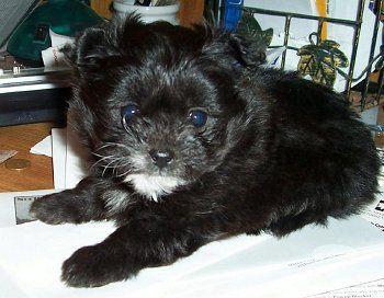 D 1036 Pomapoo Puppy Pomapoo Black Labradoodle Puppy Black