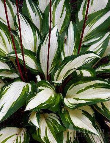 Cherry Berry Hosta has a lot to offer!  a mound forming, slightly smaller in habit Green edges surround the yellow centers of these leaves which brightens shady areas. Red flower stems that arise from the foliage in summer, contrasting the green and yellow leaves.