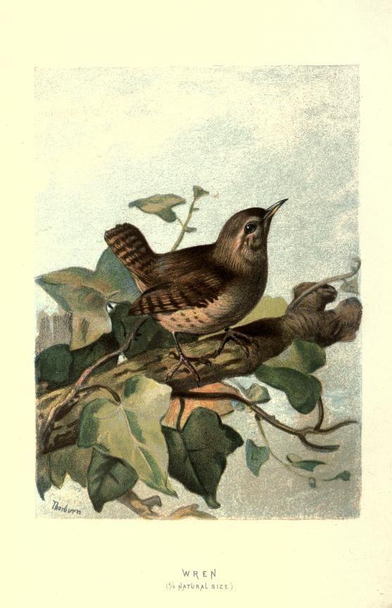Wren / Zaunkönig - Familiar wild birds / by W. Swaysland - 1883Biodiversity Heritage Library