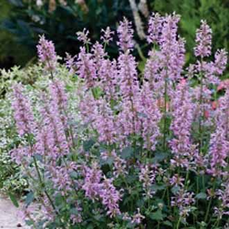 Agastache pallidiflora neomexicana Agastache Rose Mint, HP (40/30), normal bis trocken, duftende rosa Blüten und nach Minze duftende Blätter