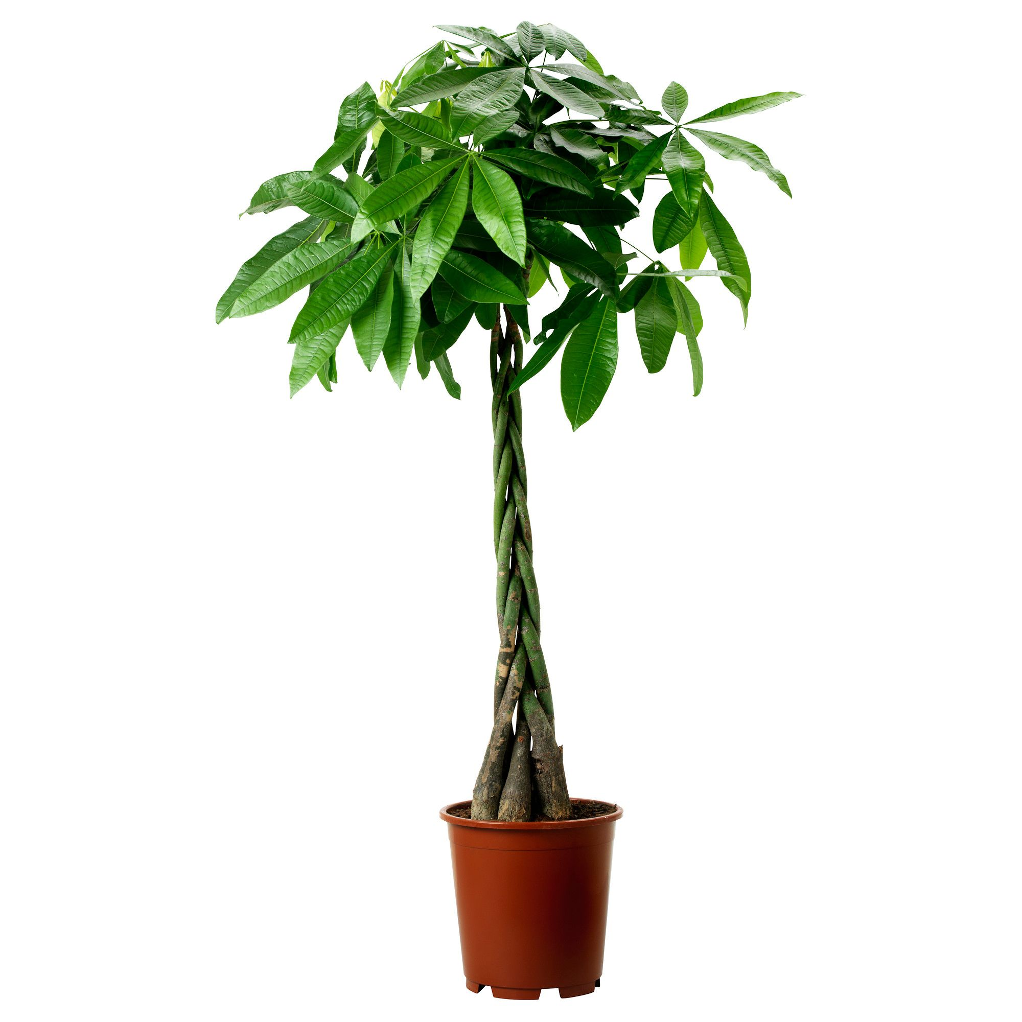 IKEA PACHIRA AQUATICA Potted Plant Guinea Chestnut 27 Cm Decorate Your Home With Plants Combined A Pot To Suit Style
