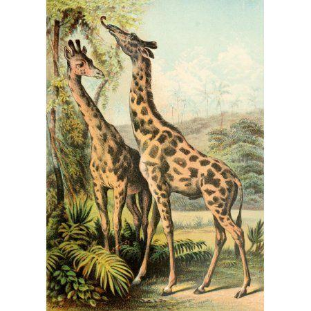 The Animal Kingdom 1897 Giraffes Canvas Art - Unknown (18 x 24) - Walmart.com #animalkingdom