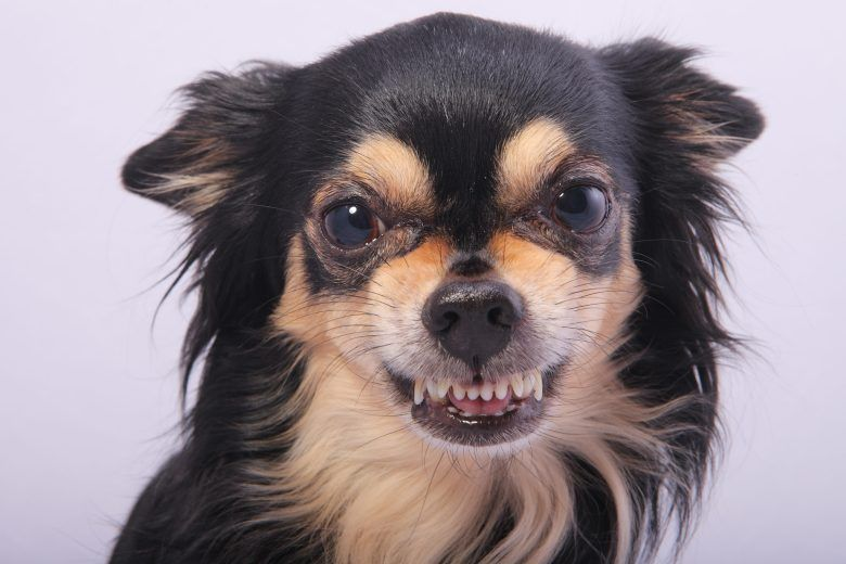 7 Tips For Staying Safe Around Dogs Dog Growling Aggressive Dog