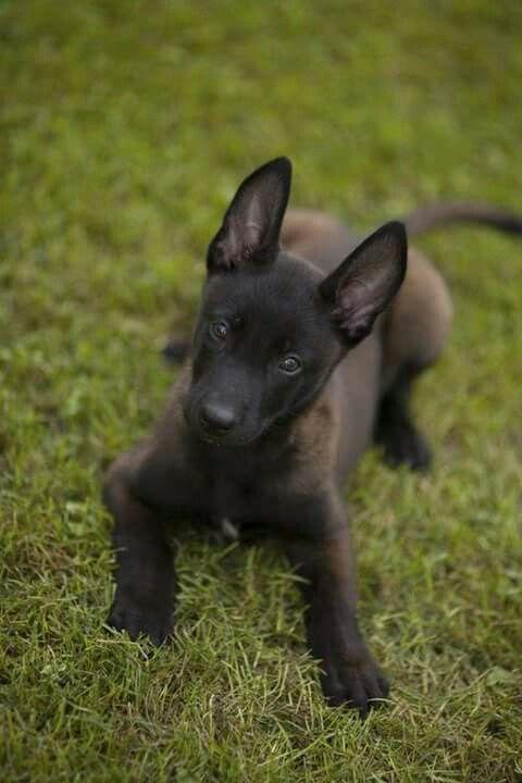 Omg Look At That Face Malinois Puppies Malinois Puppies