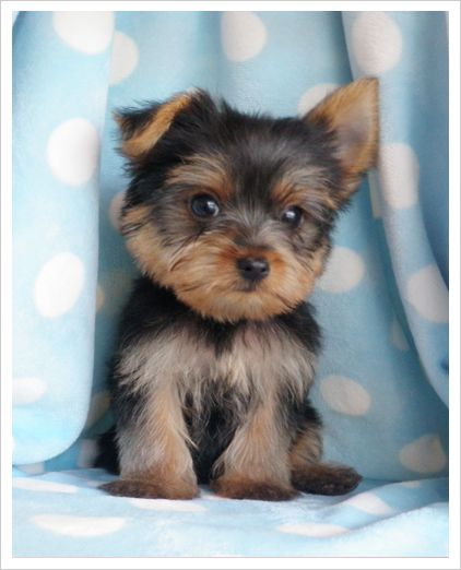 Toy Yorkie Puppy The Yorkshire Terrier Is A Small Dog Breed Of