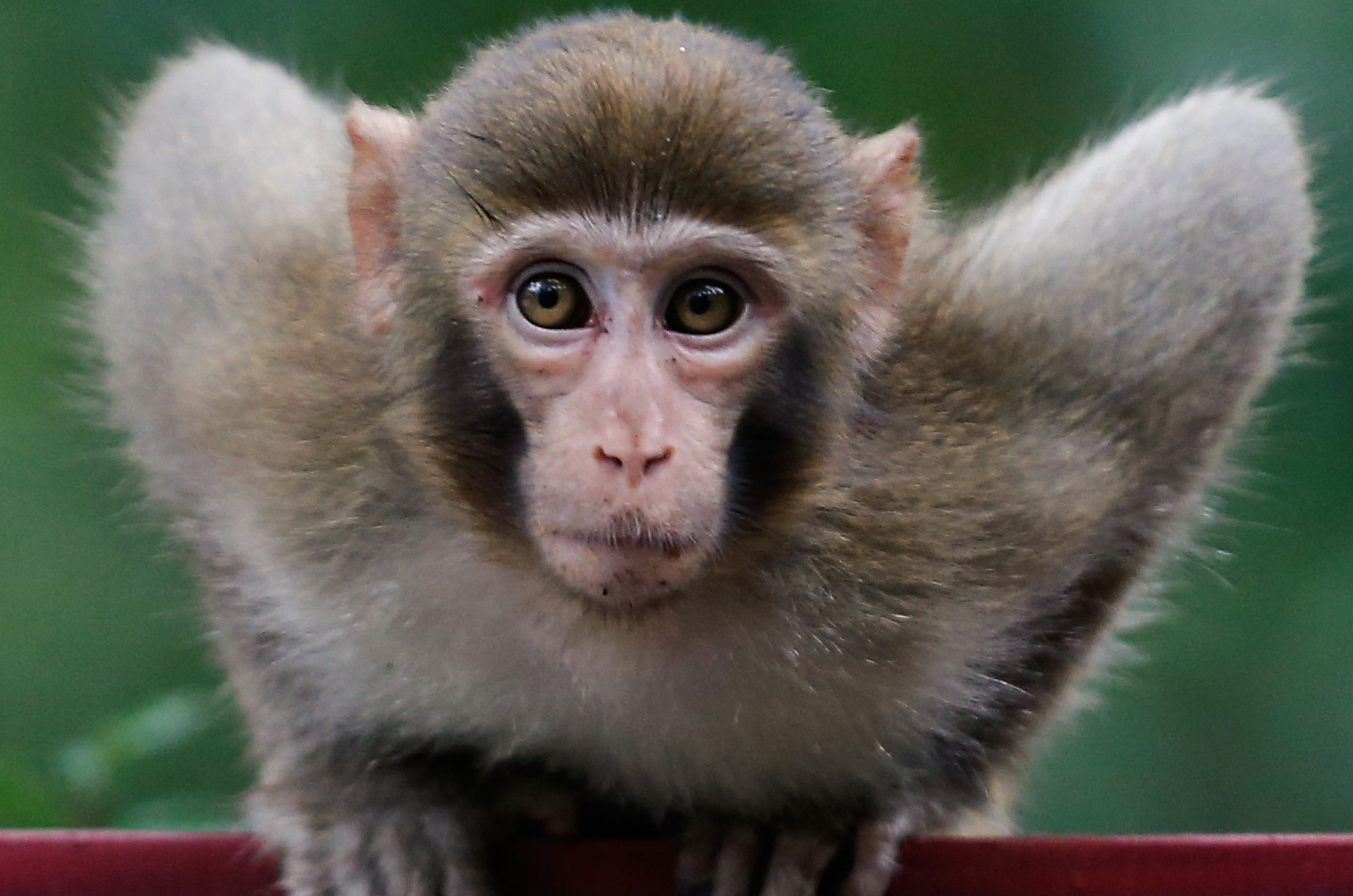 monkey face Google Search Monkey pictures, Animals