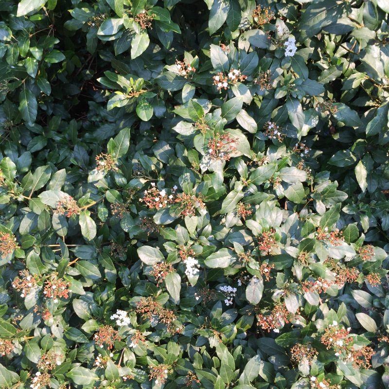 Free Plant Identification Evergreen shrubs, Blue fruits